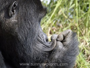 Sunnyexplores Gorilla (10)