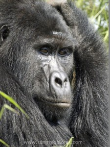 Sunnyexplores Gorilla (12)