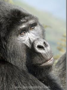 Sunnyexplores Gorilla (13)