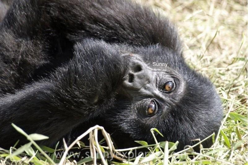 Sunnyexplores Gorilla (2)