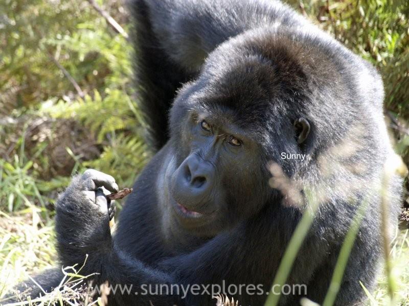 Sunnyexplores Gorilla (3)