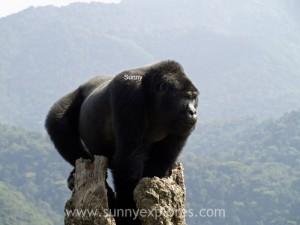Sunnyexplores Gorilla (4)