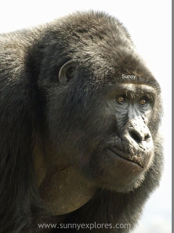 Sunnyexplores Gorilla (5)