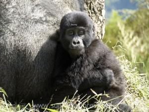 Sunnyexplores Gorilla (7)