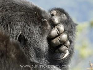 Sunnyexplores Gorilla (9)