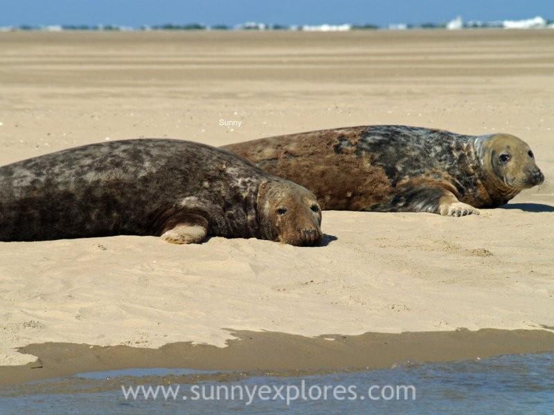 Sunnyexplores seals (4)