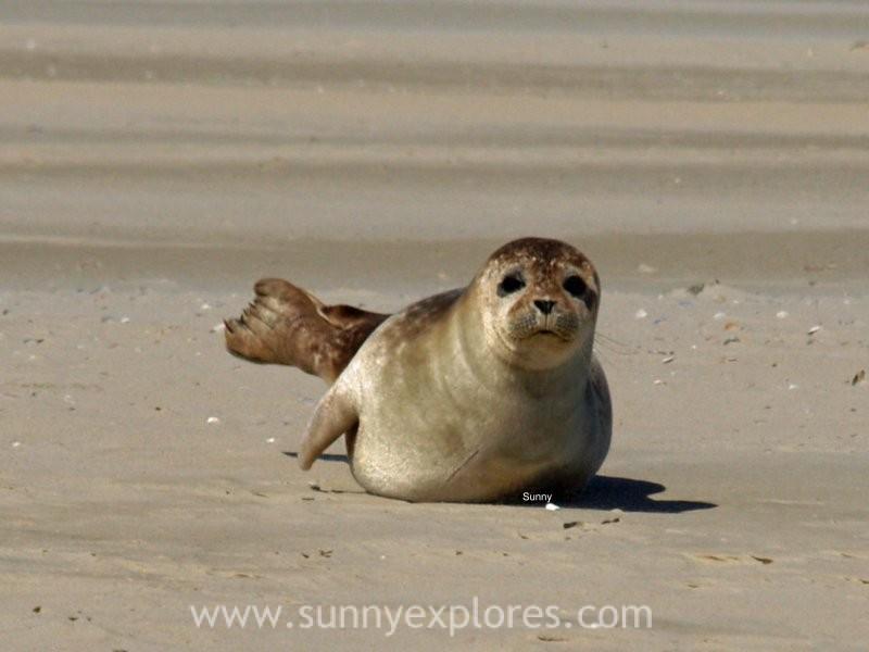 Sunnyexplores seals (5)